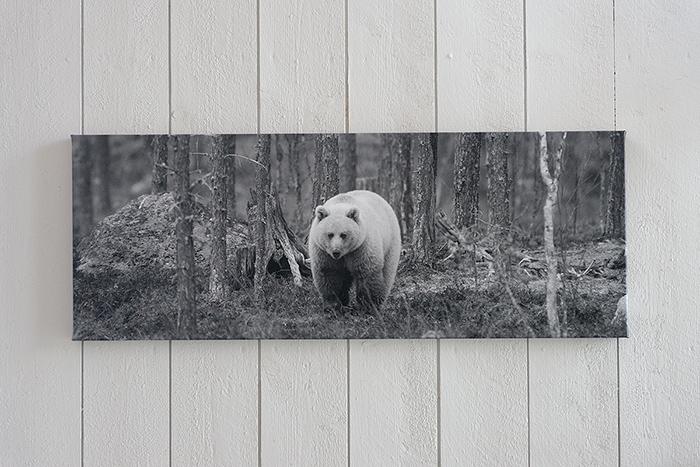 Canvasbjörn